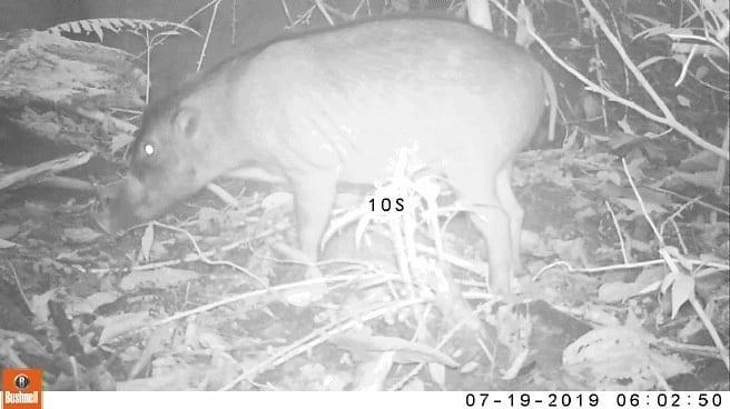 Świnia wisajska w Gawahon Eco Park w North Negros Natural Park. fot. fotopułapka Talarak Foundation Inc.