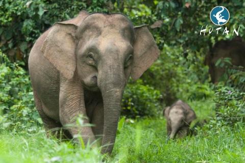 Słoń ze słoniątkiem na Borneo - Wild Run. fot. Hutan