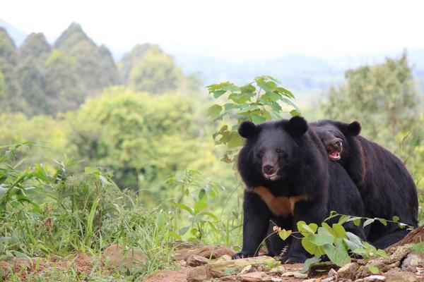 Niedźwiedzie himalajskie w sanktuarium Cat Tien. fot. Free the Bears