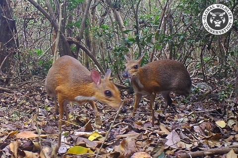 Myszojeleń - para kanczyli srebrnogrzbietych z fotopułapki w Wietnamie - Wild Run