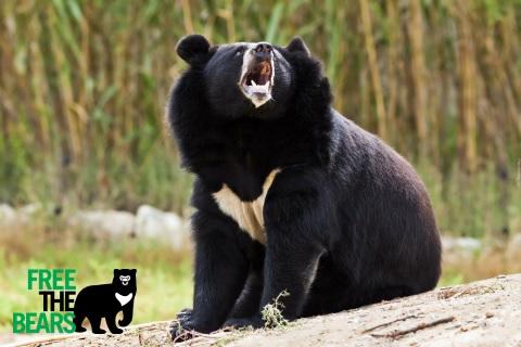Ryczący niedźwiedź himalajski - Wild Run. fot. Free the Bears