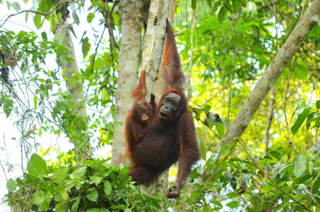 Orangutan z młodym w dżungli Borneo. fot. Hutan