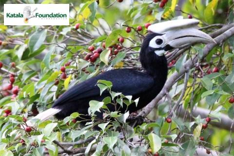 Dzioborożec palawański na owocującym drzewie - Wild Run. fot. Katala Foundation Inc.