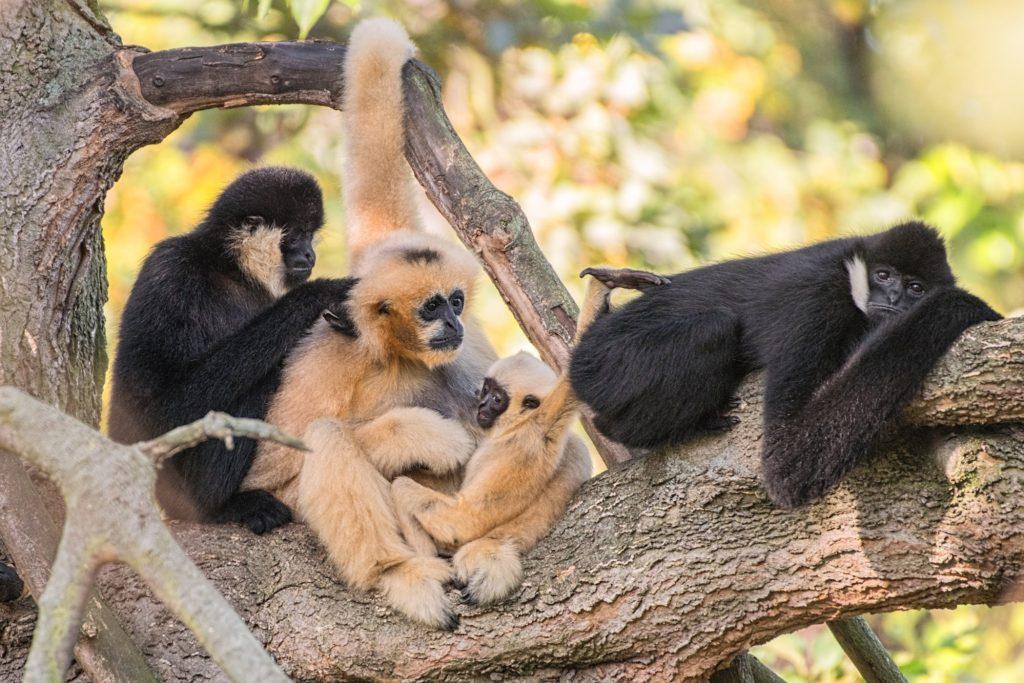 Rodzina gibbonów białopoliczkowych w Zoo Wrocław