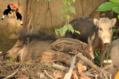 Rodzina świń wisajskich w ośrodku hodowlanym Talarak na Filipinach. fot. Talarak Foundation Inc.