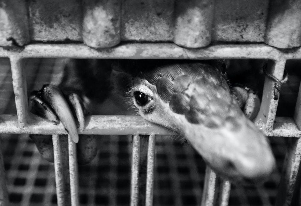 Pangolin w klatce na targu. fot. Paul Hilton