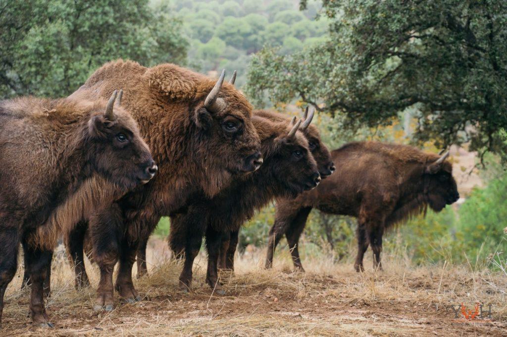 Żubry w zagrodzie w Hiszpanii. fot. Stowarzyszenie Miłośników Żubrów