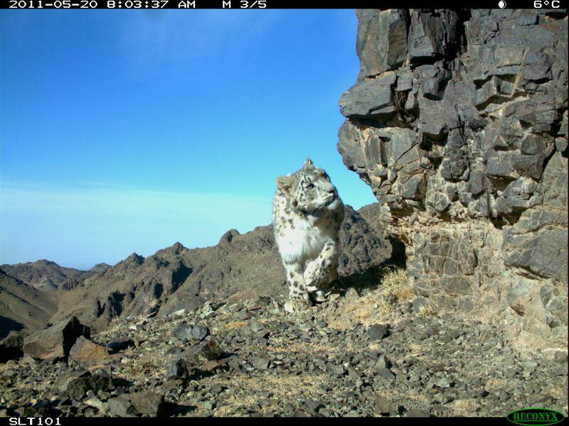 Pantera śnieżna w Mongolii. Zdjęcie z fotopułapki Snow Leopard Trust