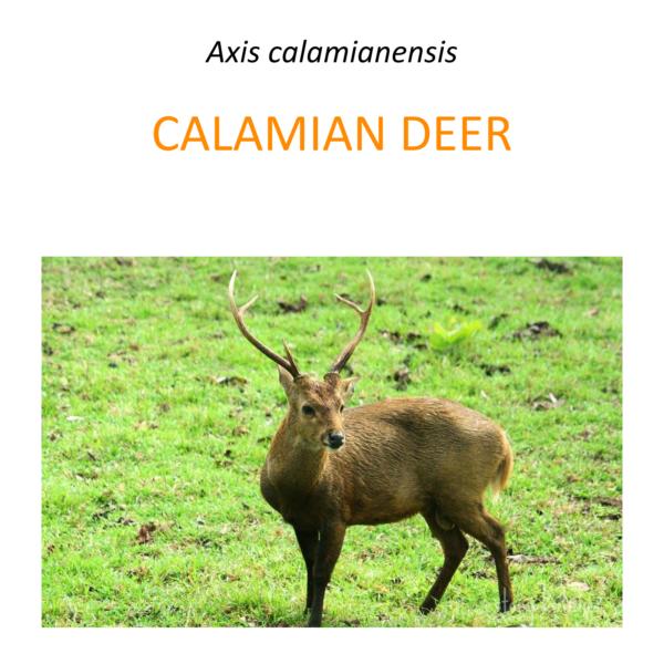 Calamian deer conservation program