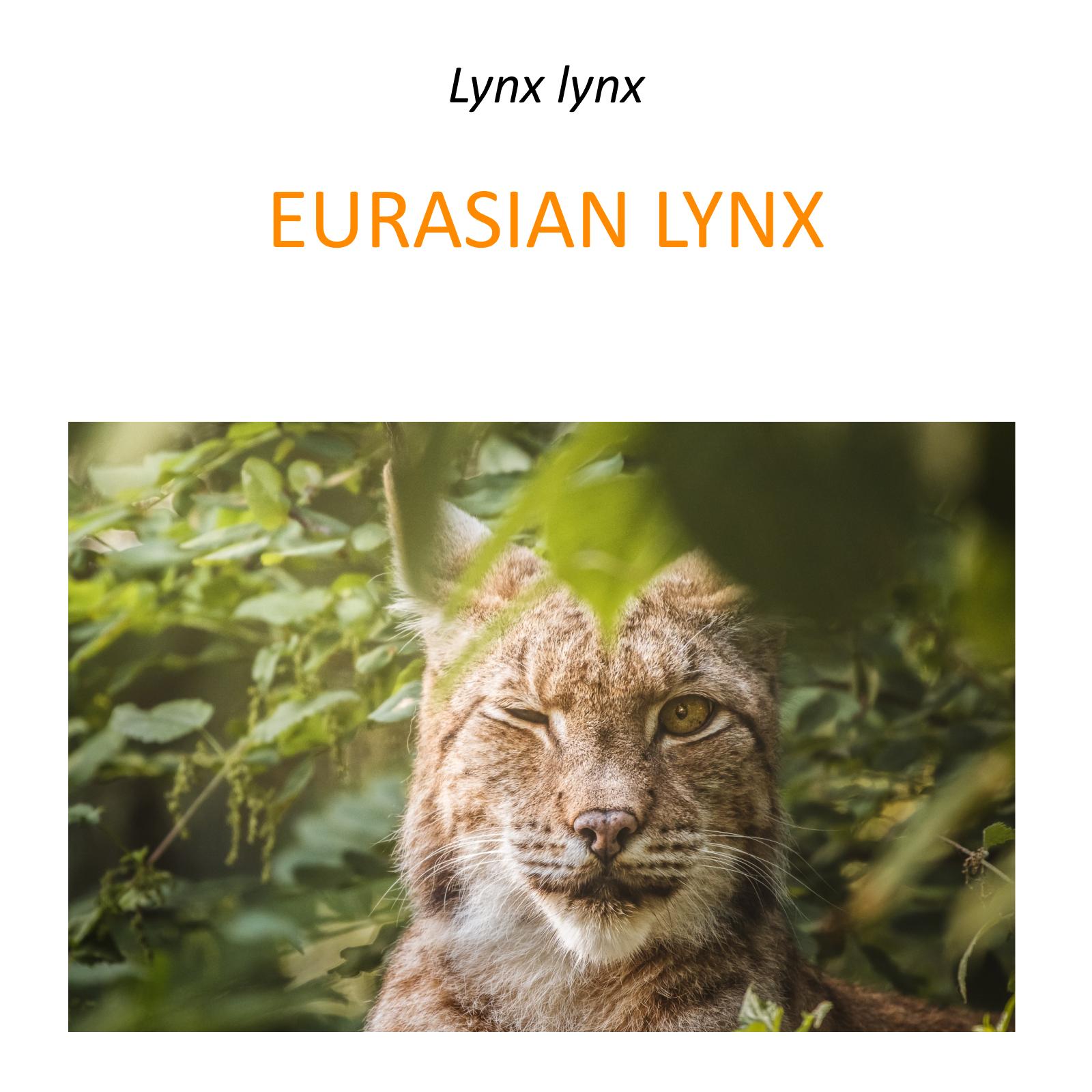 Euroasian lynx conservation program in Poland