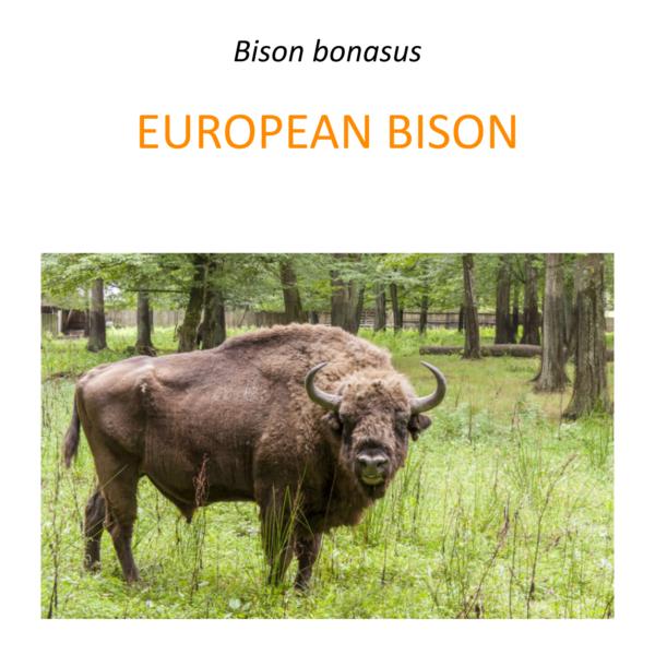 European bison conservation program