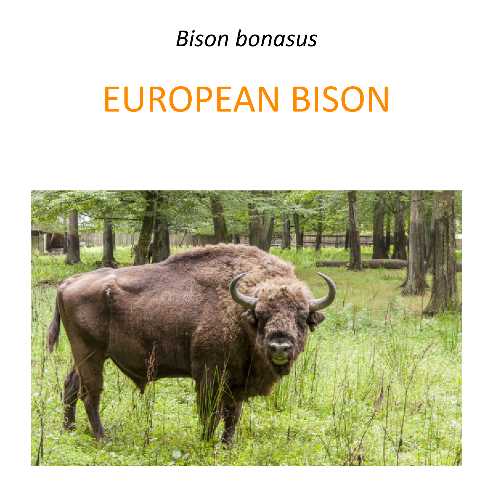 European bison conservation program