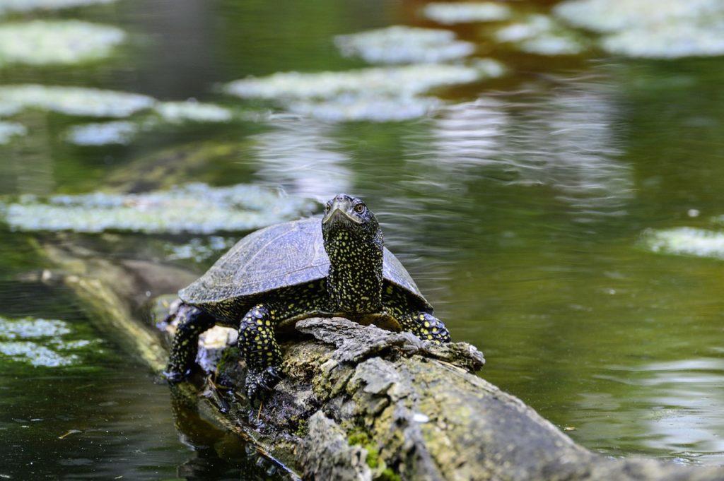 Żółw błotny odpoczywający na pniu drzewa we wodzie
