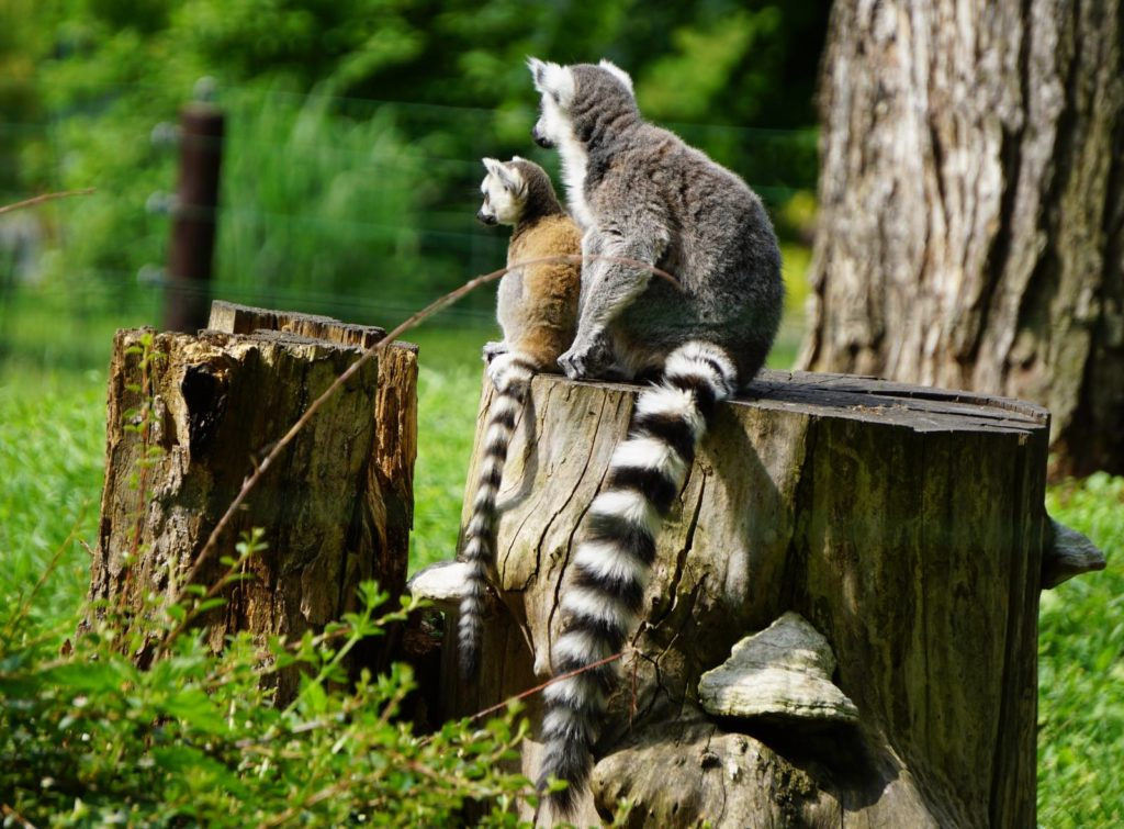 Lemur katta z młodym na wybiegu w Zoo Wrocław