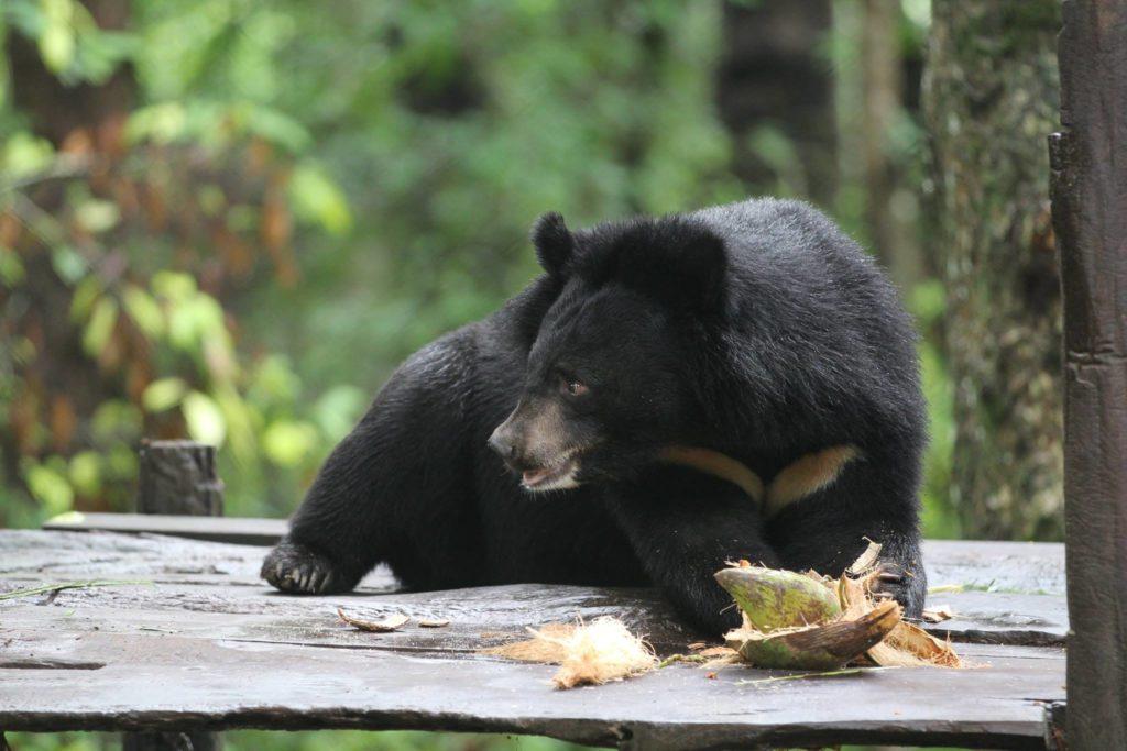 Niedźwiedź himalajski jedzący kokosa. fot. Free the Bears