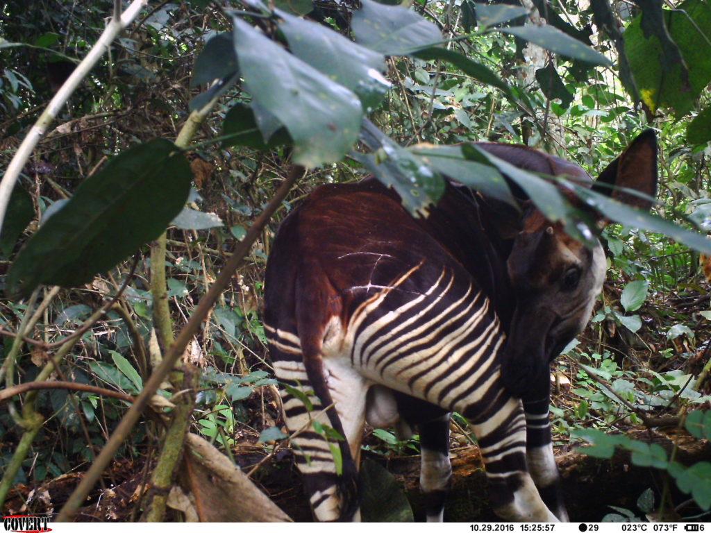 Okapi z bliznami po spotkaniu z lampartem w dżungli Kongo, zdjęcie z fotopułapki Okapi Conservation Project
