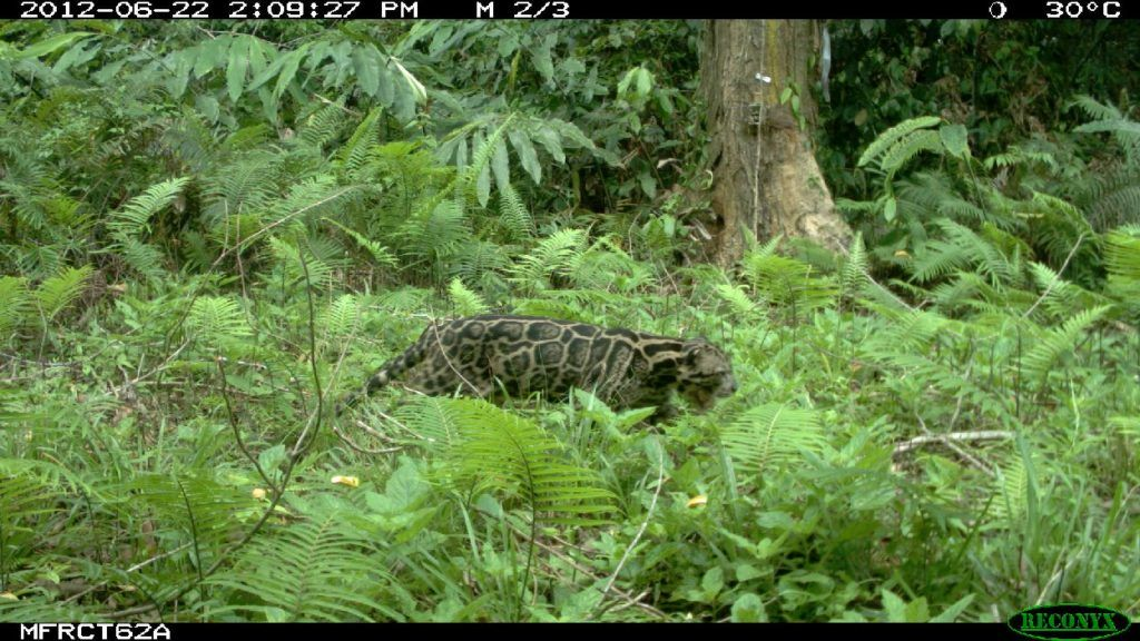 Pantera mglista sundajska, zdjęcie z fotopułapki Sabah Wildlife Department