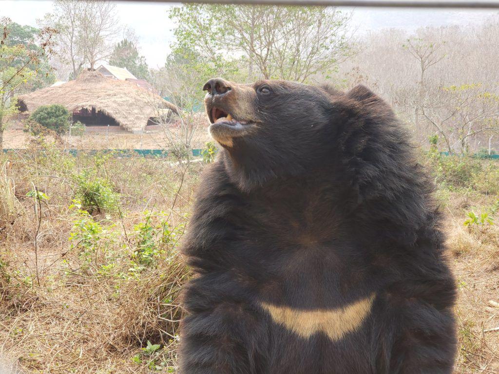 Niedźwiedzica himalajska Luna w sanktuarium Free the Bears. fot. Free the Bears