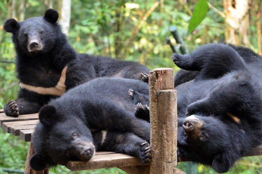 Niedźwiedzie himalajskie na wybiegu w sanktuarium Tat Kuang Si Bear Rescue Centre w Laosie. fot. Free the Bears