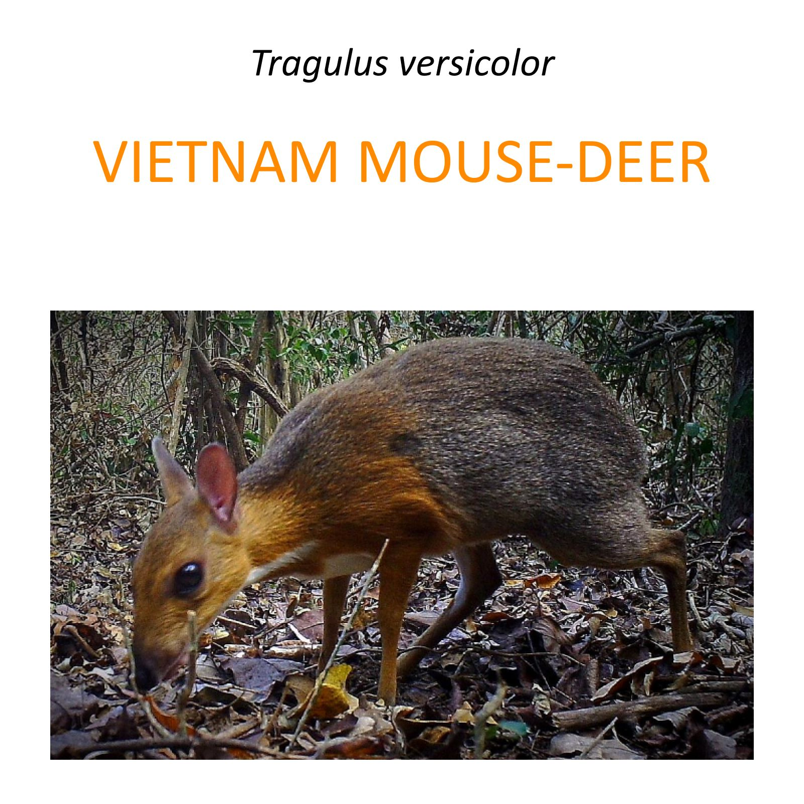 Silver-backed chevrotain protection project in Vietnam
