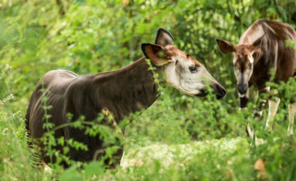 Dwa okapi w zaroślach. Kongo, Afryka
