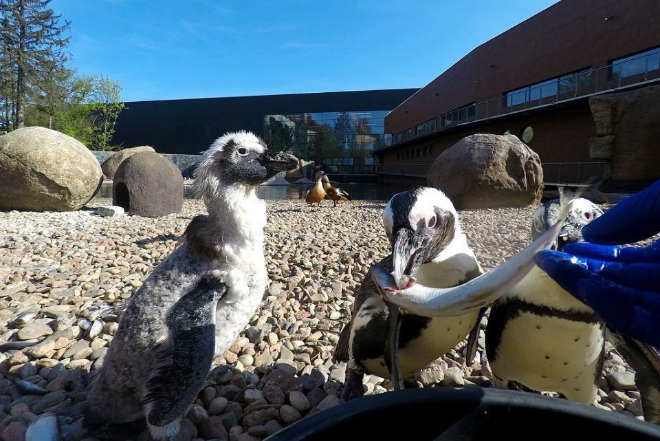 pingwiny Zoo Wroclaw