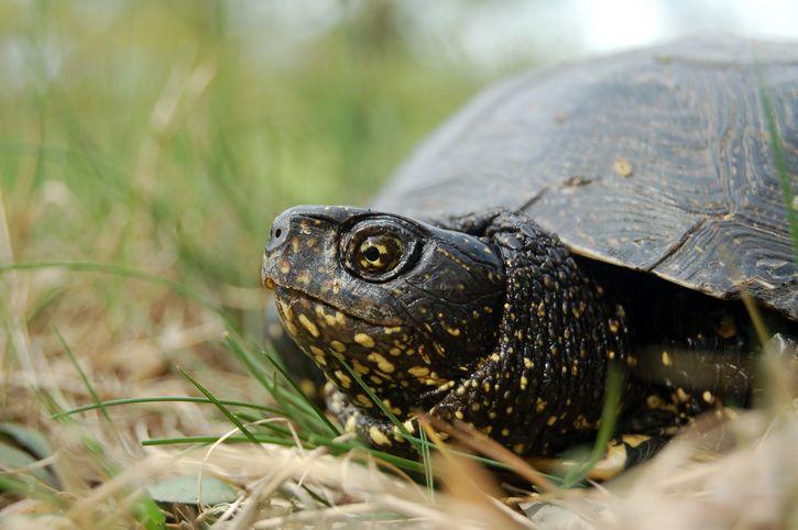 Żółw błotny Kryśka. Fot. Borys Kala - PTOP Salamandra