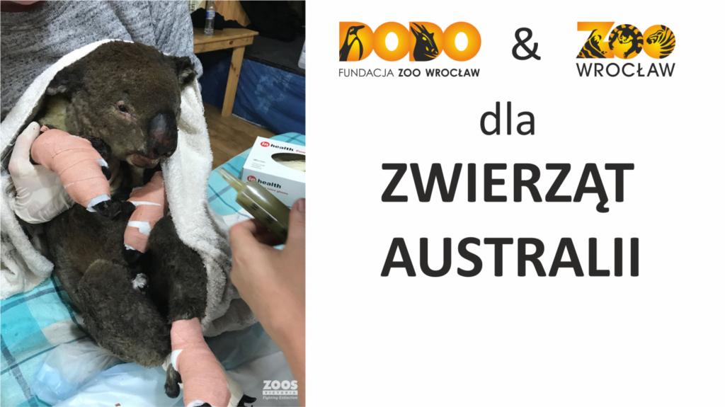 Fundacja Dodo i Zoo Wrocław dla zwierząt Australii - koala uratowany z pożarów z opatrunkami na łapach
