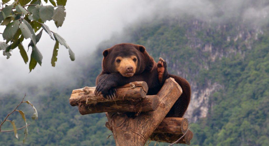 Niedźwiedź malajski wypoczywający na konarze na tle zamglonych gór. fot. Free the Bears