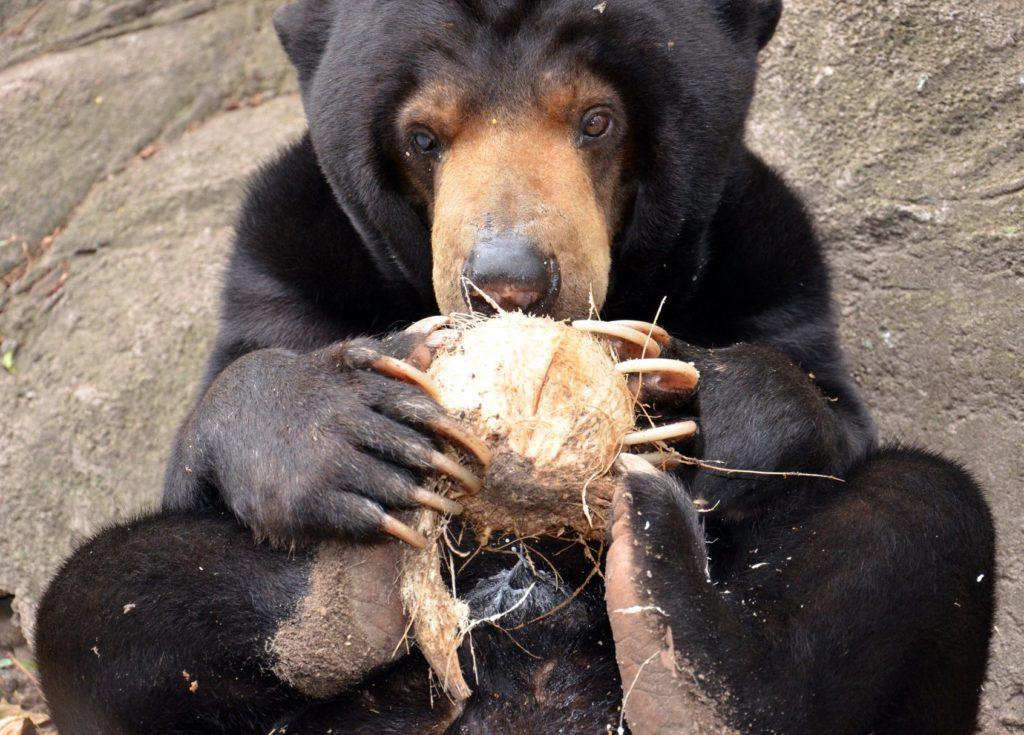 Niedźwiedź malajski jedzący kokosa. fot. Free the Bears