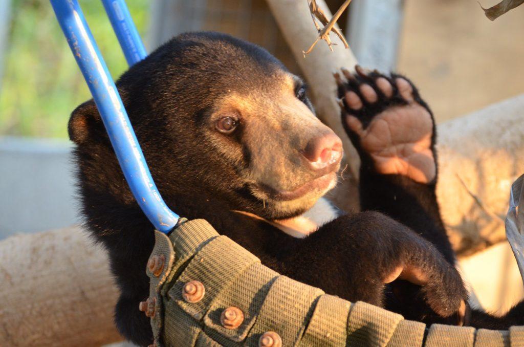 Młody niedźwiedź malajski w hamaku. fot. Free the Bears
