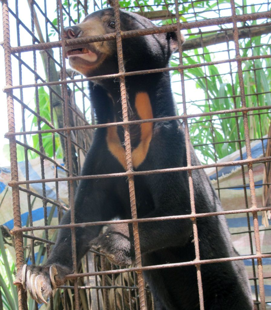 Młody niedźwiedź malajski w klatce. fot. Free the Bears