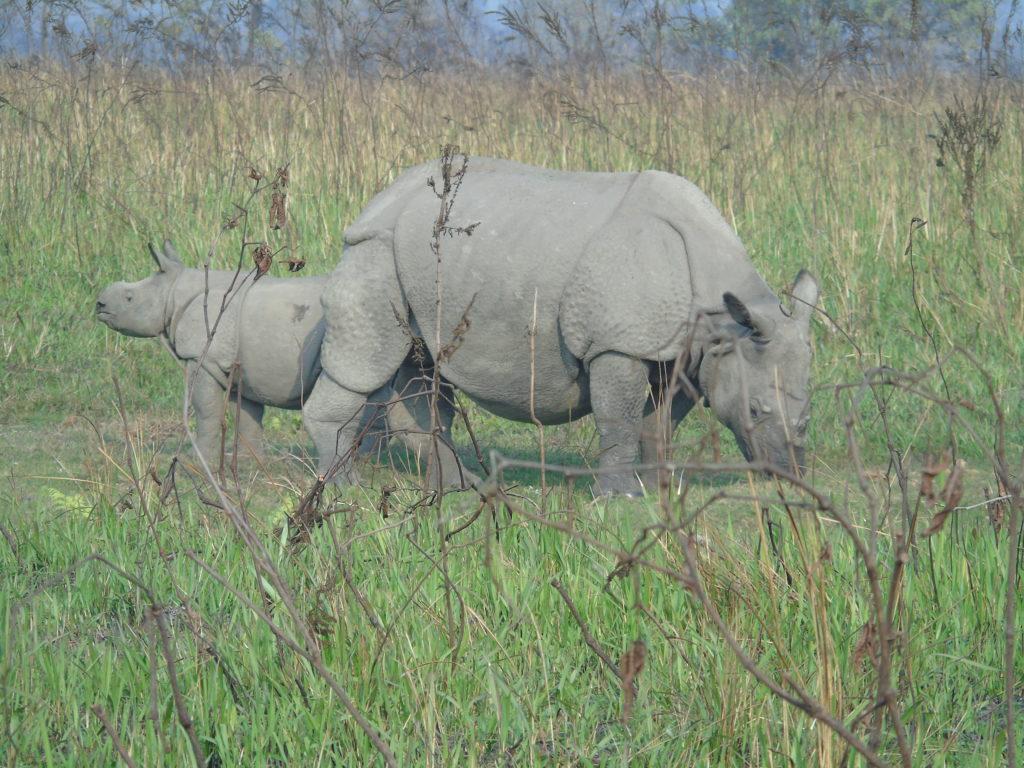 Samica nosorożca indyjskiego z młodym w Parku Narodowym Manas