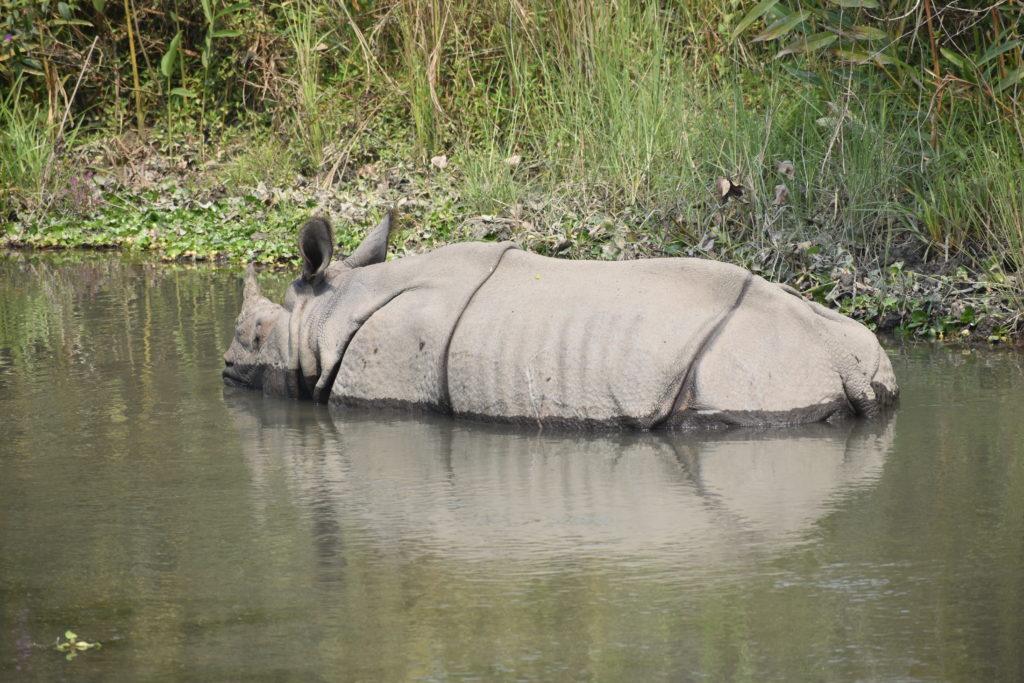 Nosorożec indyjski odpoczywający w płytkiej wodzie w Parku Narodowym Manas w Indiach