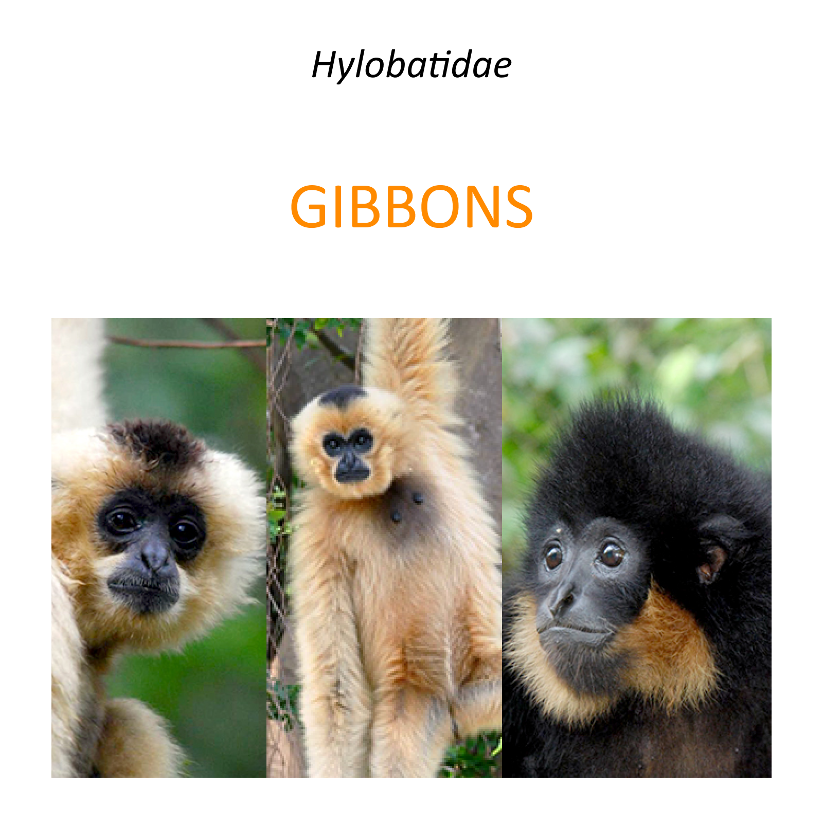 Gibbons rescue and conservation project