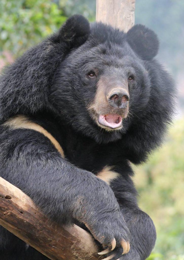 Niedźwiedź himalajski. fot. Free the Bears