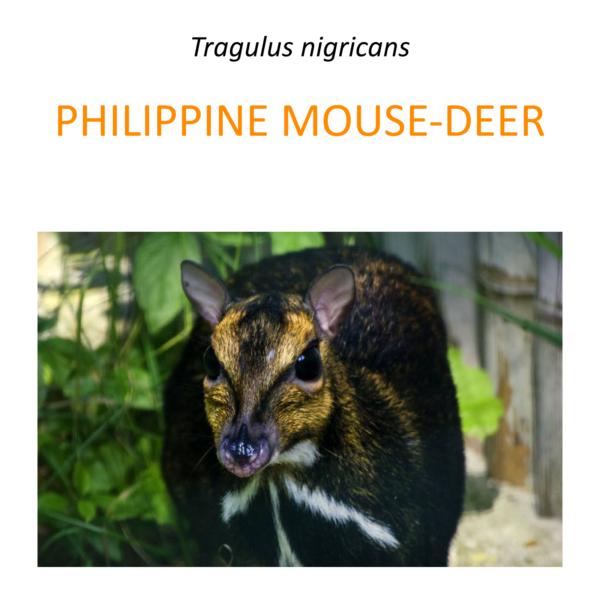 Balabac mouse-deer conservation program