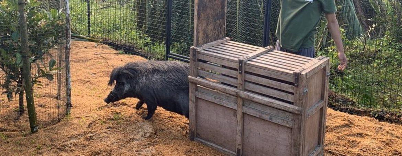 Wypuszczenie knura świni wisajskiej do tymczasowej zagrody w Parku Narodowym North Negros. fot. Talarak Foundation Inc.