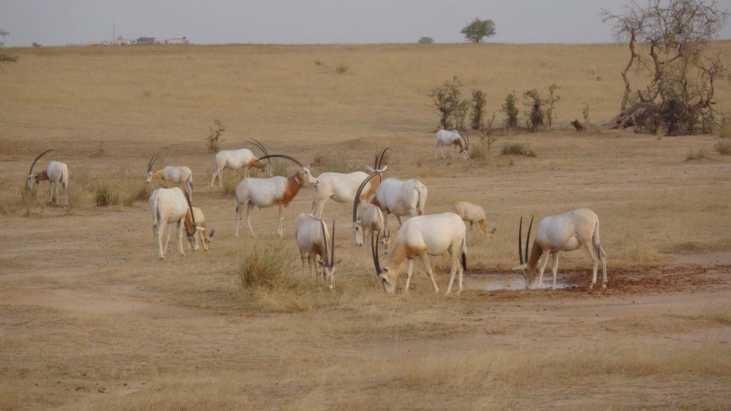 Stado oryksów szablorogich na wolności. fot. Sahara Conservation Fund