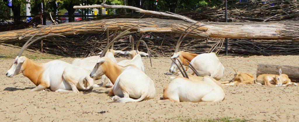 Stado oryksów szablorogich odpoczywające w Zoo Wrocław
