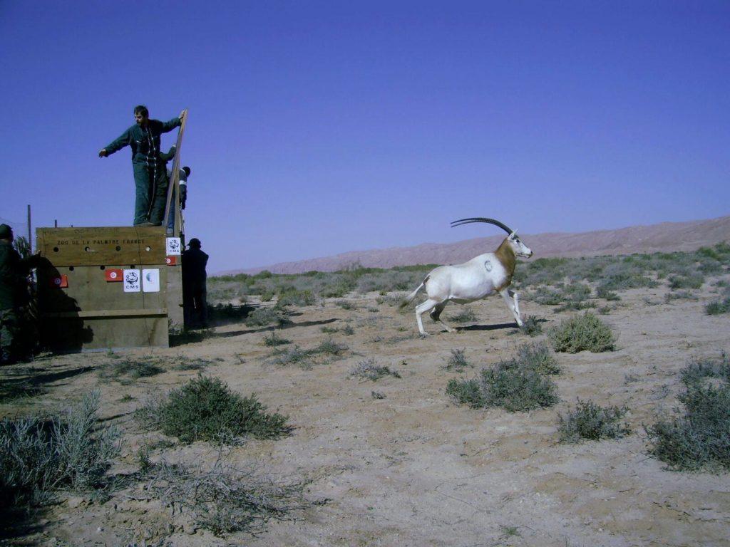 Reintrodukcja oryksa szablorogiego w Tunezji. fot. Marwell Wildlife