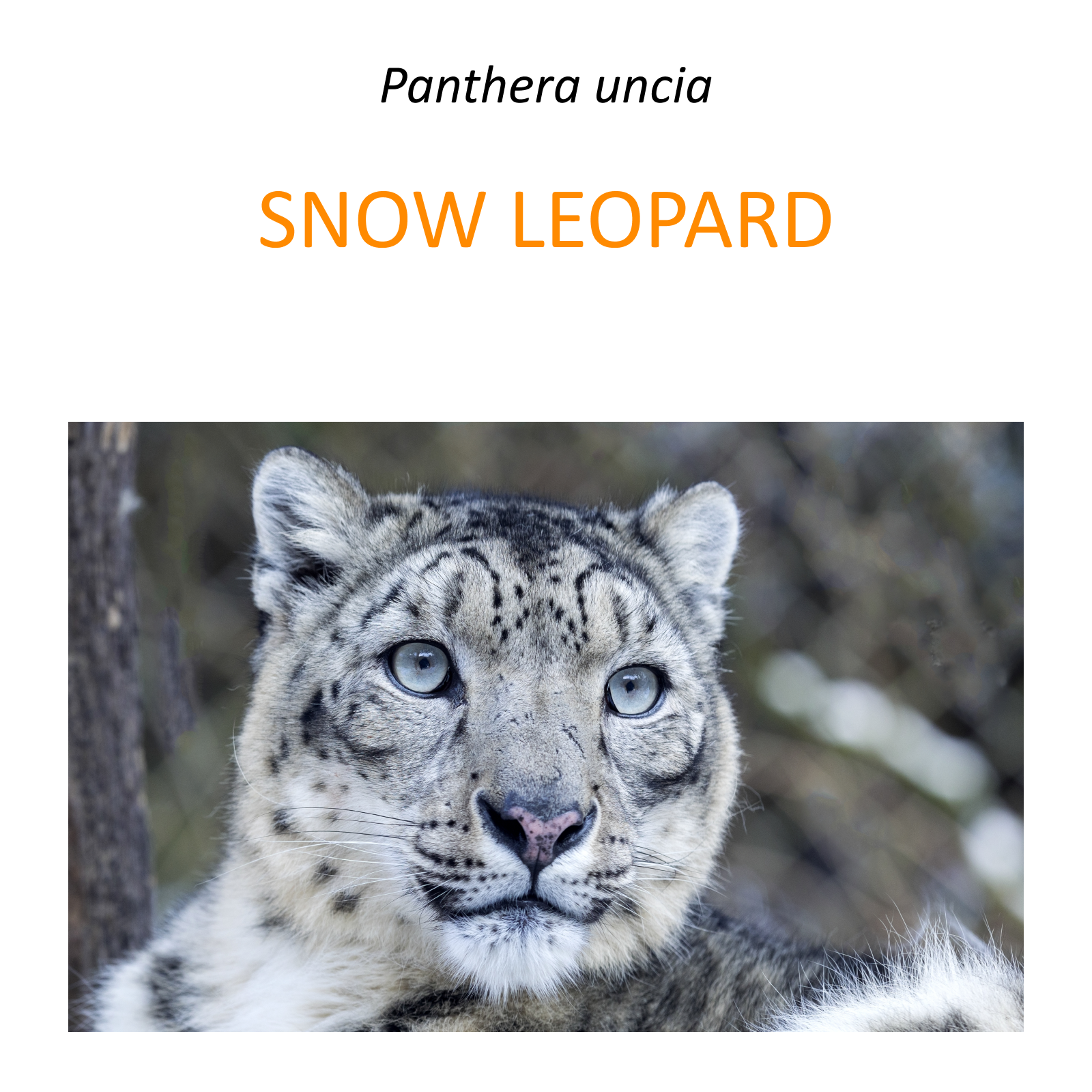 Snow leopard conservation program