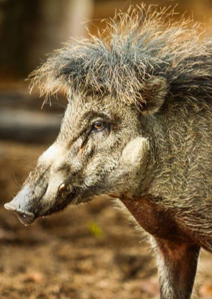 Portret świni wisajskiej. fot. Talarak Foundation Inc.