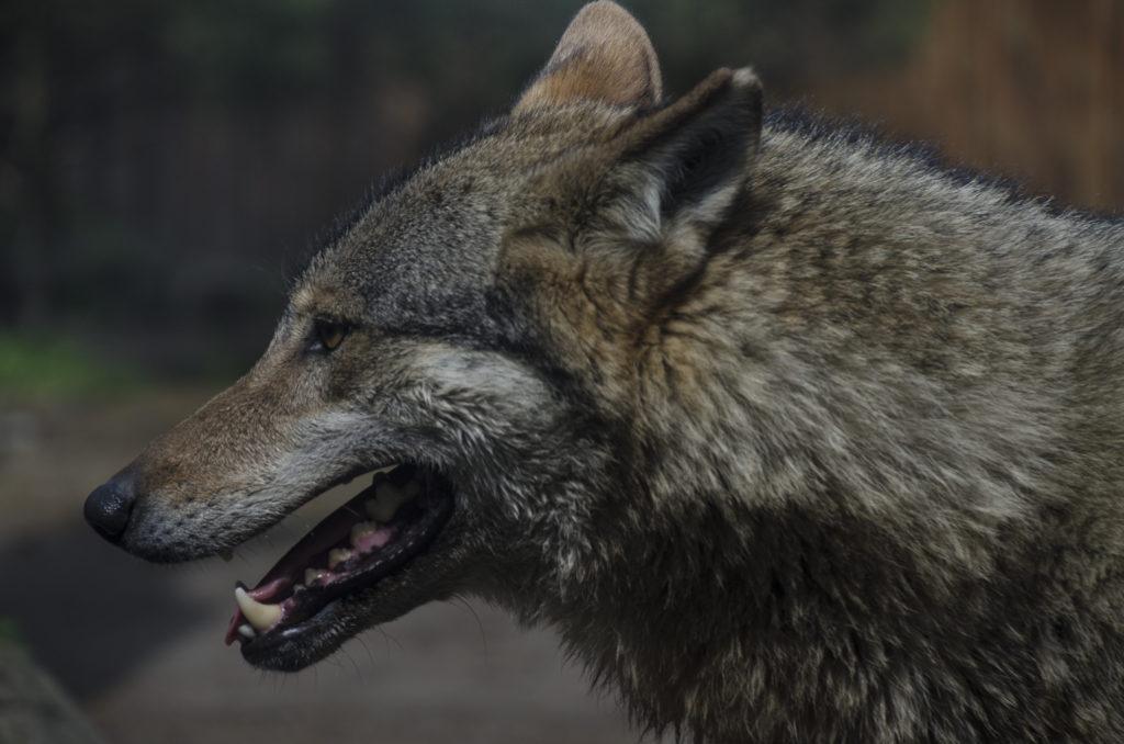 Ziejący wilk szary, wilcze zęby Zoo Wrocław