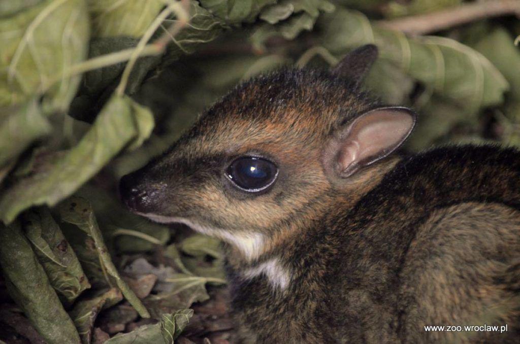 Młody kanczyl filipiński (Tragulus nigricans) urodzony w Zoo Wrocław