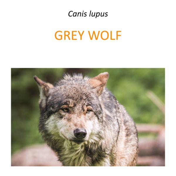Wolf conservation program in Poland