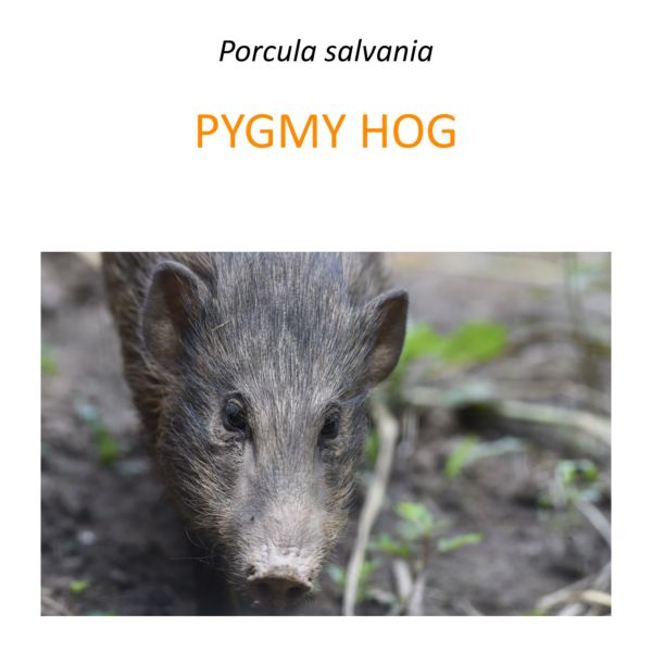 Pygmy hog conservation program