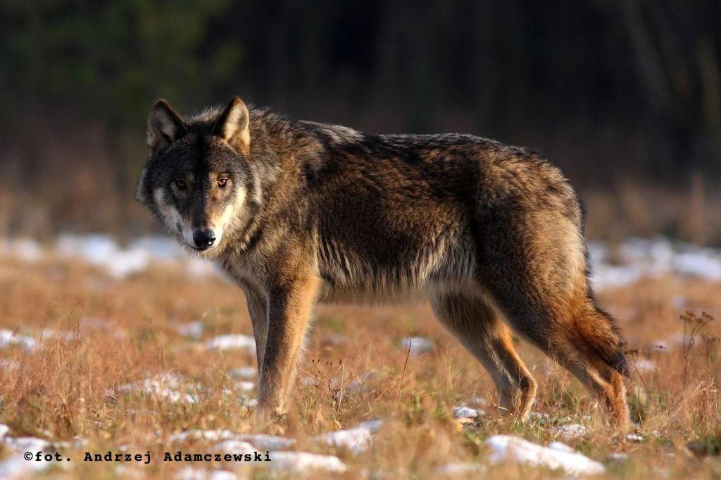 Dorosły wilk w naturze, sylwetka z boku. fot. Andrzej Adamczewski - Stowarzyszenie dla Natury Wilk