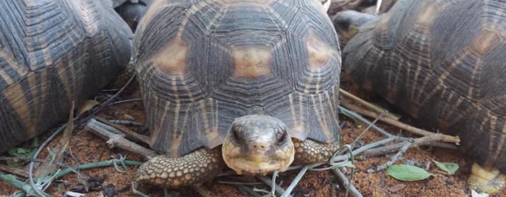 Konfiskata żółwi promienistych