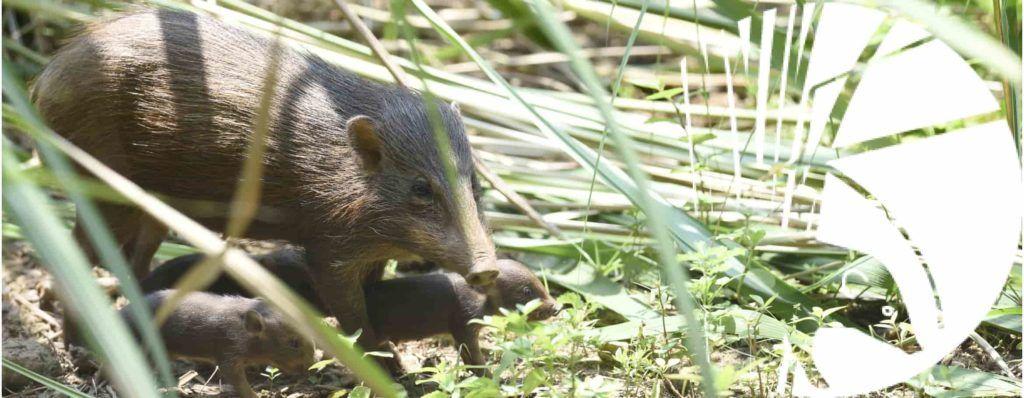 """Świneczki karłowate w """"lockdownie"""" – zagraża im afrykański pomór świń"""